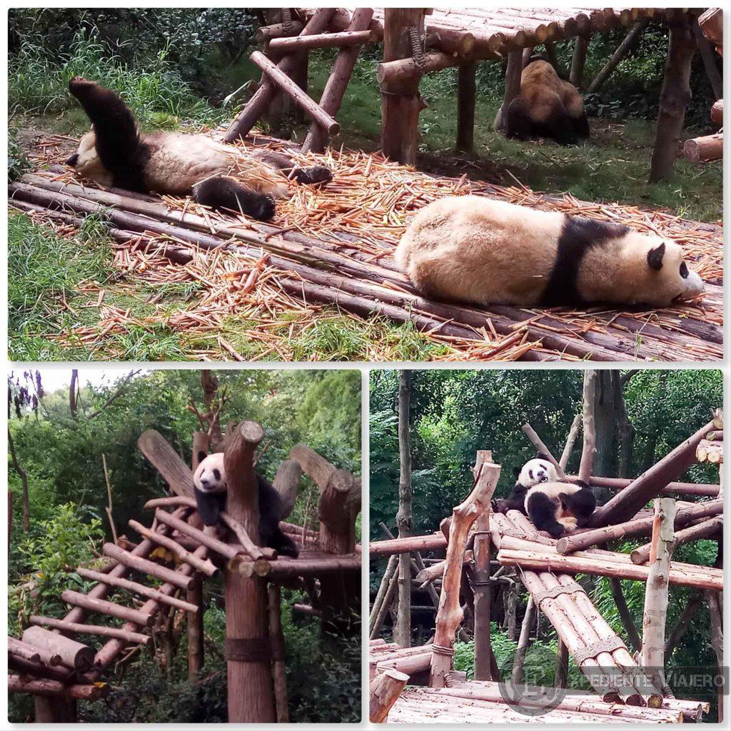Osos Panda siesta centro de conservacion Chengdu
