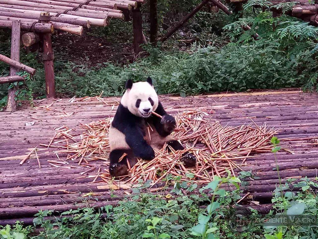 Oso Panda adulto en Chengdu