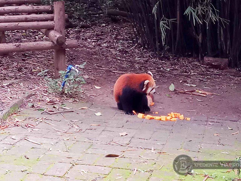 Oso Panda Rojo Chengdu