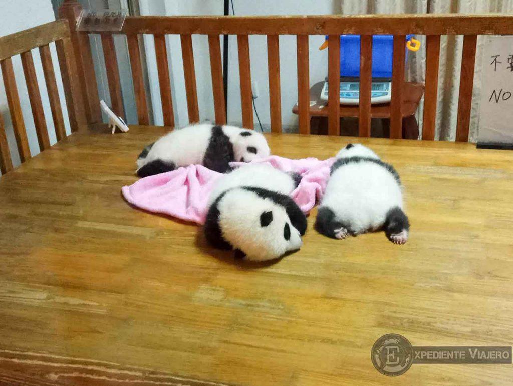 Osos Panda bebés Chengdu