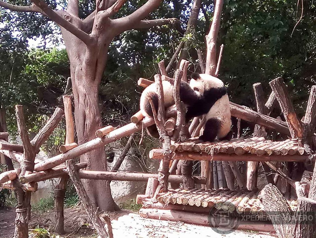 Osos Panda Chengdu jugando