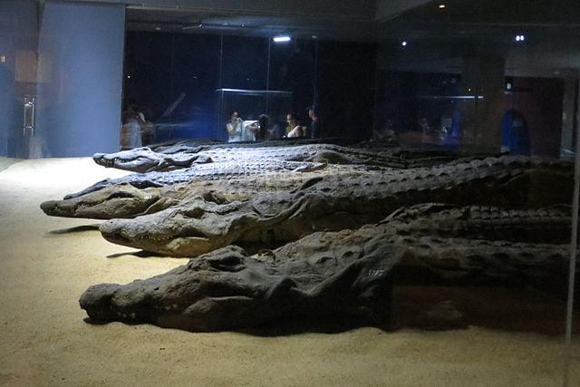 Momias de cocodrilo en Kom Ombo