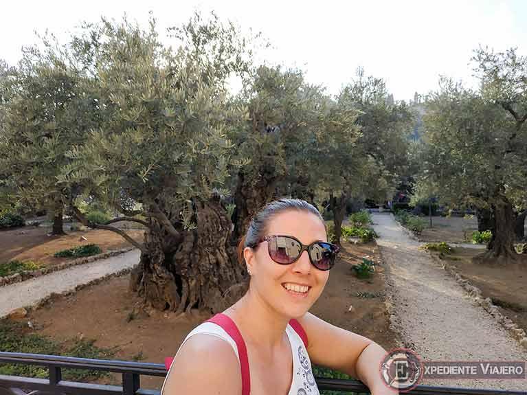 Qué ver en Jerusalén: Olivos del Jardín de Getsemaní