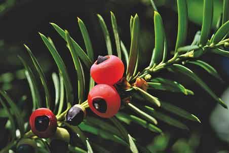 Planta venenosa del tejo