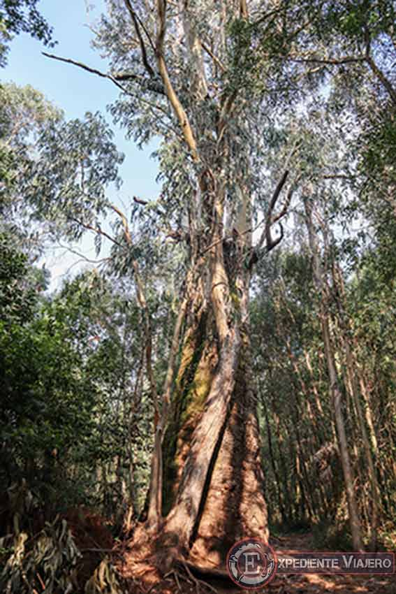 Eucalipto centenario de ruta por el Bosque Encantado de Aldán